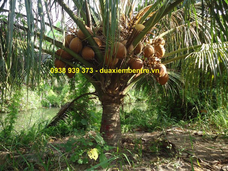 Dừa Xiêm Đỏ