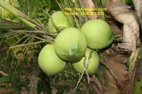 Nước dừa có công dụng chữa bệnh không ngờ
