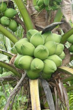 Dừa xiêm xanh xuất khẩu