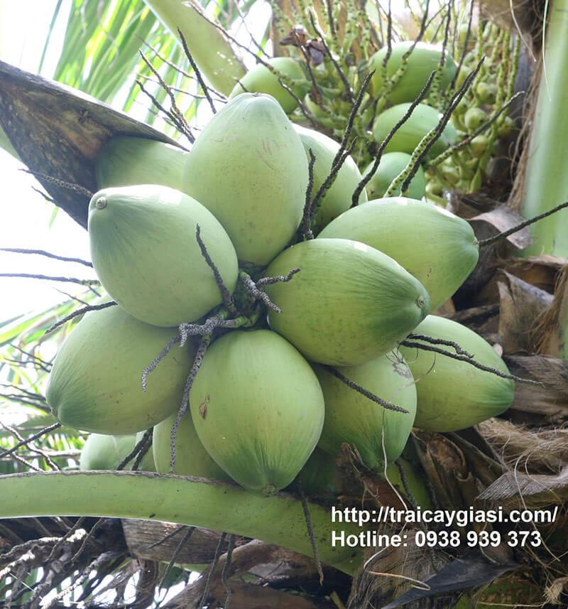 Dừa Xiêm Nhỏ